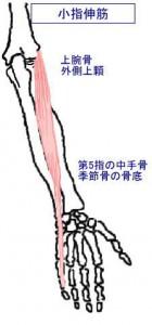 m小指伸筋