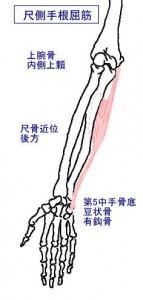 m尺側手根屈筋